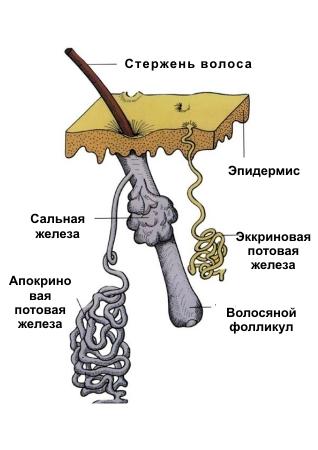 Анатомия системы потоотделения: строение потовых желез